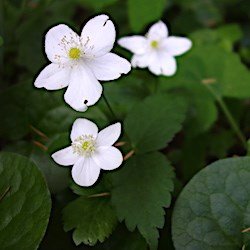 Three white flowers against dark vegetation.