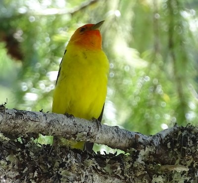 A bright red-yellow bird on a branch.