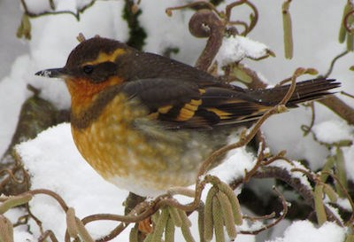 A puffed-up orange and black bird on a snowy branch.