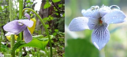 Alaska Violet side view (left) showing spur on back petal, and front view (right).