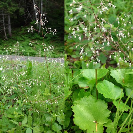 A collage of Crevice Alumroot images, with the full plant on the left side. The right side of the image is split with a detail of the flower on top, detail of leaves on bottom.