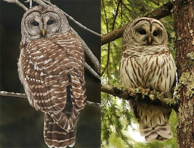 A barred owl front and back.