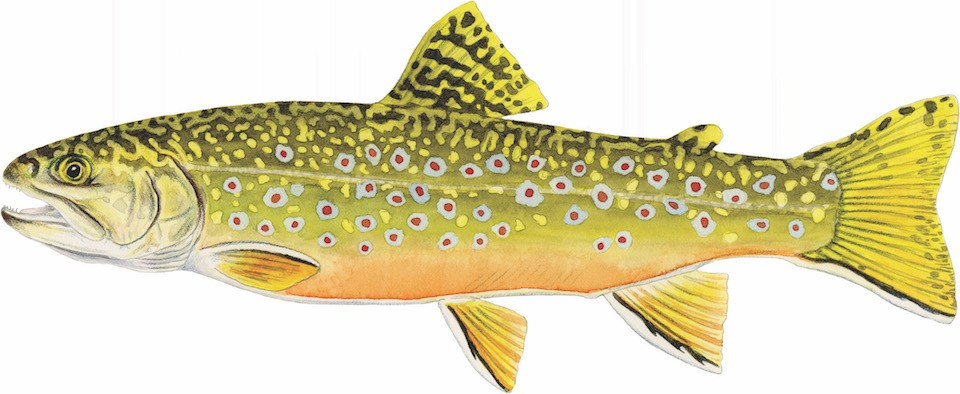 A drawing of a brook trout, a yellow fish with colorful red spots.
