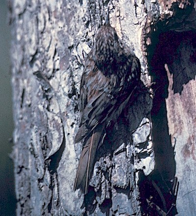 A bird with mottled brown plumage clings to a tree trunk.