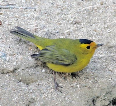 A yellow bird perches on a gravel slope.