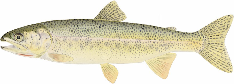 A drawing of a coastal cutthroat trout, a yellow-brown trout with dark speckles.