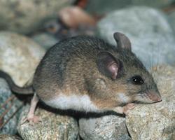 Deer Head Mount >> Rodents - Mount Rainier National Park (U.S. National Park ...