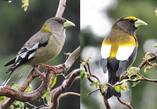 A yellow-bird (left) and a brighter yellow-black bird (right).