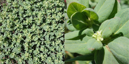 A colony of fleeceflower plants (left); a close up of a fleeceflower flower (right).