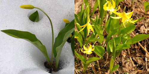 Glacier Lily pushing through snow (left); a clump of blooming Glacier Lilies (right)