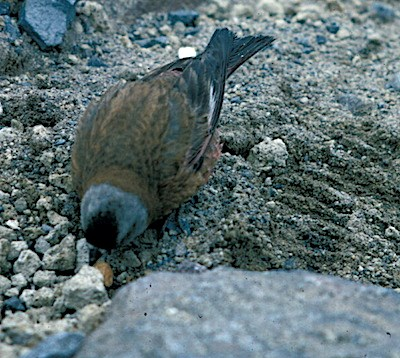 A brown bird with a grey head pecks at rocky ground.