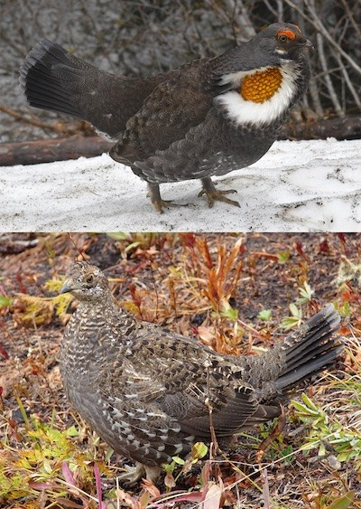 A male displaying grouse (top) and a brown speckled female grouse (bottom)