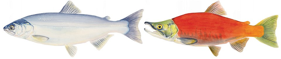 Drawings of two Kokanee salmon. The fish on the left is blue-silver. The fish on the right is bright red with a green head and tail fin.