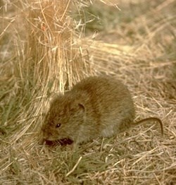 Long-tailed Vole
