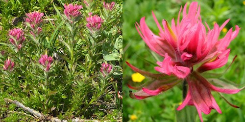 Left: A Magenta Paintbrush plant. Right: Close up of a Magenta Paintbrush flower.