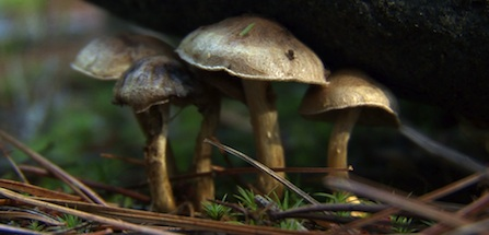 Mushrooms peek out underneath a rock as they emerge from a bed of pine needles.