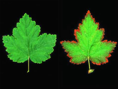 Two leafs, one with no injury (left), one with damage from ozone exposure (right).