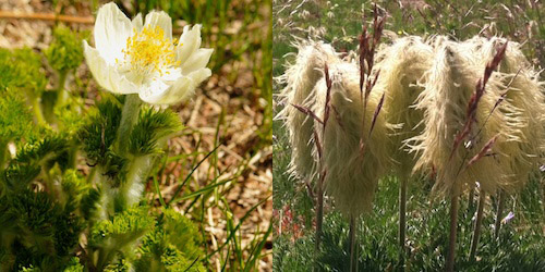 Pasqueflower blooming (left); several pasqueflower seedheads (right)