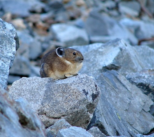 A small mammal perched on a rock.