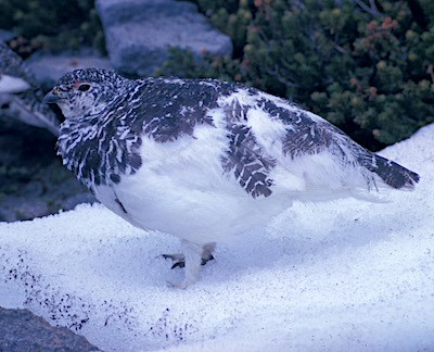 A bird with white feathers transitioning to speckled grey feathers.