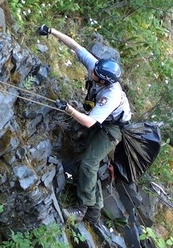 A member of the Mount Rainier revegetation crew rappelling to pull invasive plants.