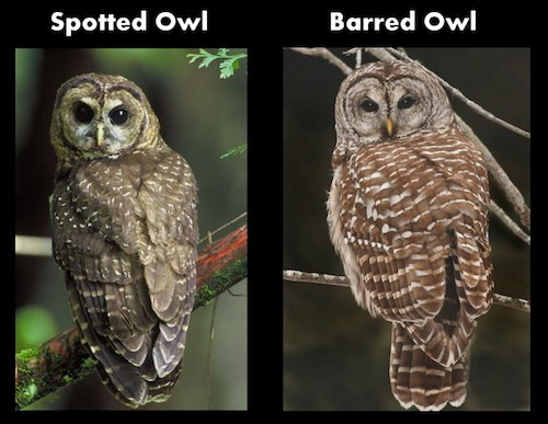 A Spotted Owl (left) compared with a Barred Owl (right) from the back.