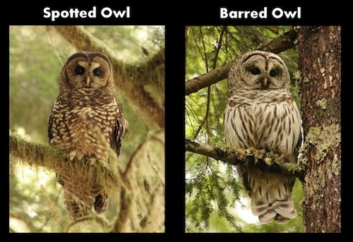 A Spotted Owl (left) compared with a Barred Owl (right) from the front.