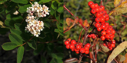 Left: The white clustered flowers of Sitka Mountain Ash. Right: A cluster of bright red berries produced from the flower.