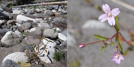 Small-flowered Willowherb plant growing in rocky, dry soil (left), and detail of flower (right).