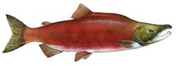 Male spawning Sockeye salmon.