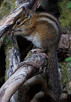 A chipmunk eats a seed while sitting on a branch.