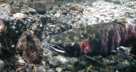 An underwater photo of a Coho Salmon swimming in the White River.