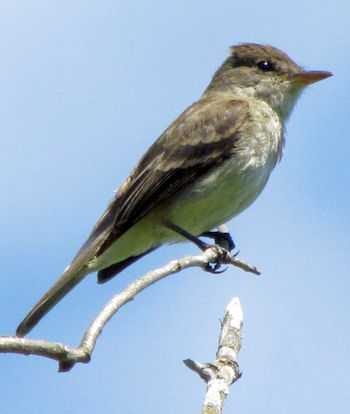 Willow Flycatcher perched on a branch.