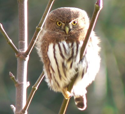 A tiny brown owl with intense yellow eyes.