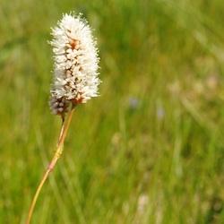 Subalpine Wildflowers - White - Mount Rainier National Park (U.S