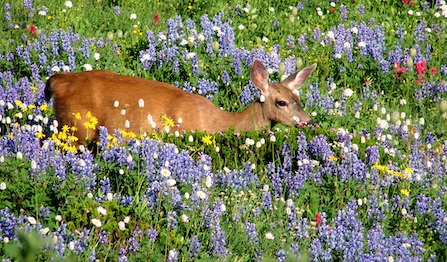 A black-tailed mule deer wades through a lush wildflower meadow in full bloom.