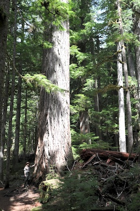 A ranger stands dwarfed next to a huge old-growth Douglas fir tree along the Twin Firs trail.