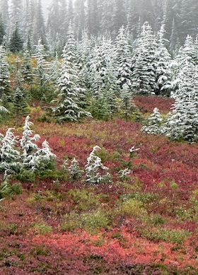 Heath shrub, turning red in the fall, gives way to trees dusted with early-season snow.