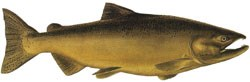 A male Chinook Salmon during freshwater spawning.
