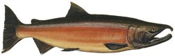 A male Coho salmon during freshwater spawning.