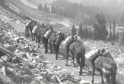 A black and white historic photo of a man leading a pack trail of horses along a trail. Each horse has two metal jugs strapped to their backs.