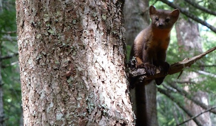 A pine marten perched on a branch, peeks around a tree trunk.