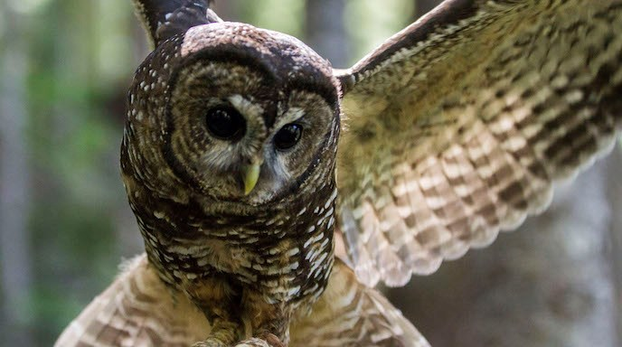 Spotted Owl, with wings spread.