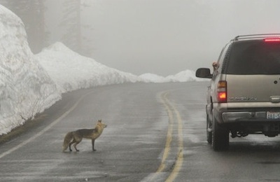 A fox begging for food from visitors in a vehicle on the road.