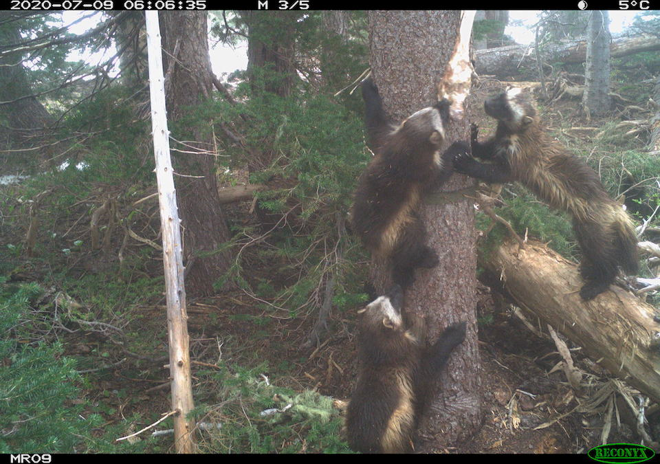Three young wolverines climb a tree in a forest.