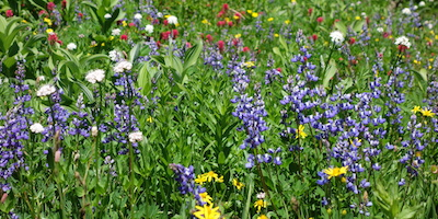 Wildflowers of different colors fill a lush meadow.