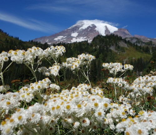 Clusters of white flowers with yellow centers in front of a view of Mount Rainier.