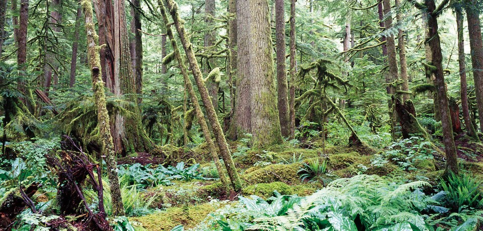 A dense tangle of moss covered trees and lush vegetation.
