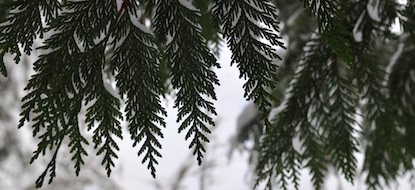 Cedar boughs frosted with snow.