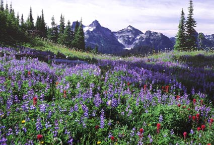 A wildflower meadow at Paradise busy purple and red blooms and mountains  sits before a jagged mountain peak.